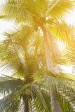 KokosnussPalme mit Weinleseeffekt Stockbilder
