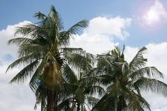 KokosnussPalmen Stockfoto