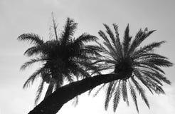 KokosnussPalmen Stockbild
