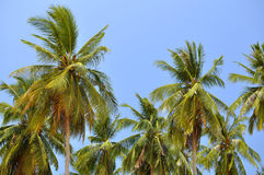 Kokosnusspalmen auf blauem Himmel Stockbild