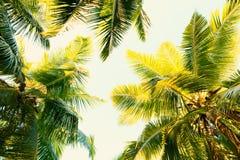 KokosnussPalmen auf klarem Sommerhimmel Tropischer Hintergrund Niedrige Winkelsicht Getontes Bild stockbild