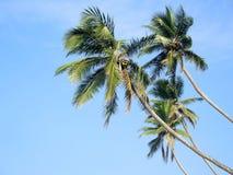 Kokosnusspalmen im Himmel Stockbilder