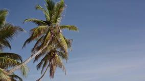 Kokosnusspalmen in Seychellen stock footage
