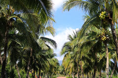 Kokosnusspalmenplantage Stockfotos