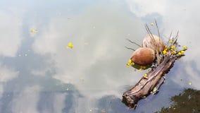 Kokosnussschwimmen Lizenzfreie Stockbilder