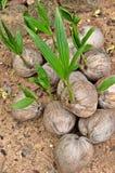 Kokosnusssprößling Lizenzfreie Stockbilder