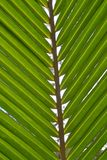Kokosowa liść zieleń Zdjęcia Stock