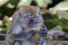 kokosowa mienia małpy skorupa obrazy stock