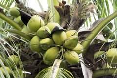 Kokosowa owoc obrazy royalty free