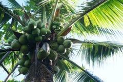 Kokosowa owoc na drzewie Obrazy Royalty Free