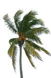kokosowa palma Obraz Stock