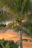 kokosowa palma Obrazy Royalty Free