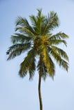 kokosowa palma Zdjęcia Stock
