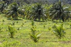 Kokosowa plantacja Fotografia Stock