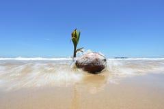 Kokosowa rozsada Na brzeg Zdjęcie Stock