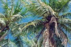 Kokosowe palmy i niebieskie niebo z lekkimi chmurami Obrazy Stock