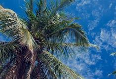 Kokosowe palmy i niebieskie niebo z lekkimi chmurami Fotografia Stock