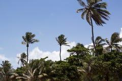 Kokosowego drzewa cumbuco ceara Brazil Obrazy Royalty Free