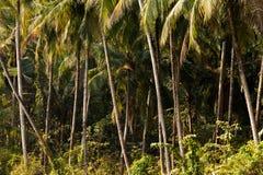 Kokosowego drzewa dżungla Zdjęcia Stock