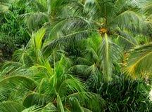 Kokosowego drzewa las Fotografia Stock