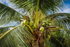 Kokosowego drzewa liście i owoc kokosowe piłki Zdjęcie Stock