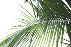 Kokosowego drzewa liście Obrazy Stock