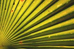 Kokosowego drzewa liście Zdjęcie Royalty Free