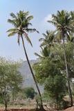 Kokosowego drzewa miotanie w kierunku nieba Zdjęcia Stock