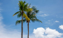Kokosowego drzewa palma Fotografia Royalty Free