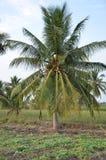Kokosowego drzewa pole Fotografia Stock