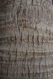 kokosowego drzewa tekstura Obraz Royalty Free