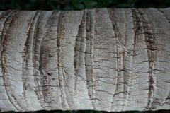 kokosowego drzewa tekstura Zdjęcie Stock