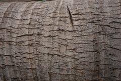 kokosowego drzewa tekstura Zdjęcia Stock