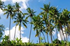 Kokosowi drzewa Fotografia Stock