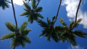 Kokosowi drzewa Playa Corcega Stella, Puerto Rico obrazy royalty free