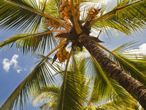 Kokosowi drzewa w kurorcie Zdjęcie Royalty Free