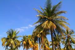 Kokosowi drzewka palmowe Obraz Stock