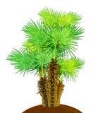 Kokosowi drzewka palmowe odizolowywający na bielu Obraz Stock