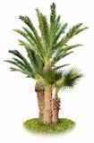Kokosowi drzewka palmowe odizolowywający na bielu Obrazy Stock