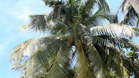 Kokosowi drzewka palmowe przeciw niebieskiemu niebu zbiory wideo