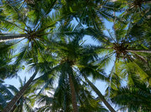 Kokosowi drzewka palmowe z koks Obraz Royalty Free
