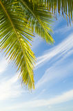 Kokosowi liście Obrazy Stock
