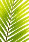Kokosowi liście Obraz Stock