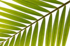 Kokosowi liście Obrazy Royalty Free