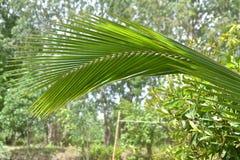 Kokosowi liście Obraz Royalty Free