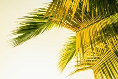 Kokosowi liście Zdjęcia Royalty Free