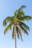 Kokosowy drzewka palmowego dmuchanie na błękicie Fotografia Stock