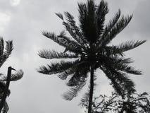 Kokosowy drzewka palmowego dmuchanie w wiatrach przed ciężkim huraganem Depresja klucza Stonowany wizerunek zdjęcie stock