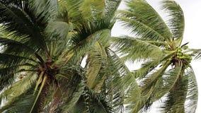 Kokosowy drzewka palmowego dmuchanie w wiatrach przed władza huraganem lub burzą zbiory