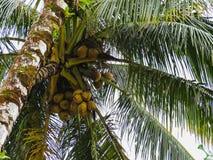 Kokosowy drzewka palmowego dorośnięcie na wybrzeżu Panama obraz royalty free
